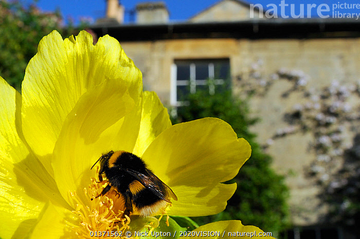 Queen White tailed bumblebee (Bombus lucorum) feeding on Yellow tree peony (Paeonia ludlowii) flower in  garden, with house in the background, Wiltshire, England, UK, April . Property released.  ,  2020VISION,ARTHROPODS,BEES,BUMBLEBEES,CITIES,COLOURFUL,ENGLAND,EUROPE,FLOWERS,GARDENS,HYMENOPTERA,INSECTS,INVERTEBRATES,PAEONIACEAE,PLANTS,POLLINATION,UK,URBAN,United Kingdom,,Dispersal,  ,  Nick Upton / 2020VISION