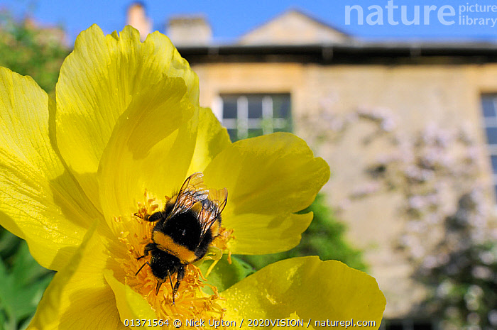 Queen White tailed bumblebee (Bombus lucorum) feeding on Yellow tree peony (Paeonia ludlowii) flower in  garden, with house in the background, Wiltshire, England, UK, April . Property released.  ,  2020VISION,ARTHROPODS,BEES,BUMBLEBEES,CITIES,COLOURFUL,ENGLAND,EUROPE,FLOWERS,GARDENS,HYMENOPTERA,INSECTS,INVERTEBRATES,PAEONIACEAE,PLANTS,POLLINATION,UK,URBAN,United Kingdom  ,  Nick Upton / 2020VISION
