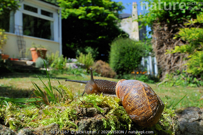 Common snail (Helix aspersa) crawling over mossy wall in a garden with house in the background, Wiltshire, England, UK, April. 2020VISION Exhibition. 2020VISION Book Plate. . Property released.  ,  2020VISION,CITIES,ENGLAND,GARDENS,INVERTEBRATES,UK,URBAN,2020vision book plate,2020vision exhibition,EUROPE,exhibition,GASTROPODS,MOLLUSCS,PESTS,SNAILS,United Kingdom,2020cc  ,  Nick Upton / 2020VISION