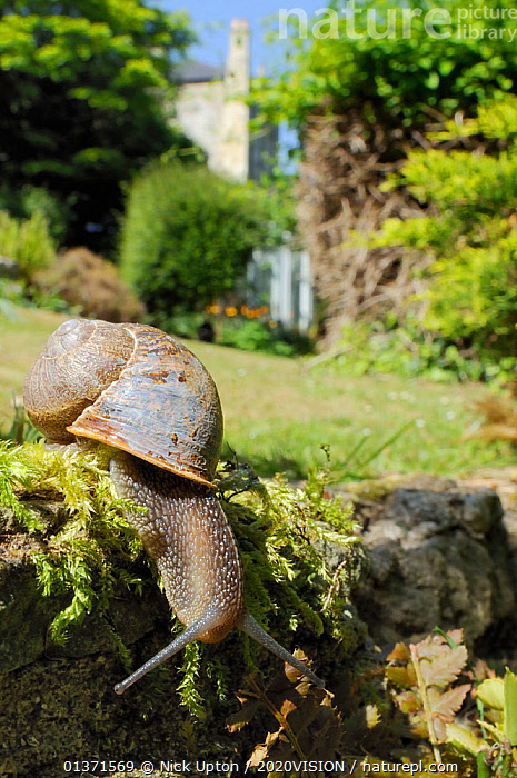Common snail (Helix aspersa) crawling over mossy wall in a garden with house in the background, Wiltshire, England, UK, April . Property released.  ,  2020VISION,CITIES,ENGLAND,EUROPE,GARDENS,GASTROPODS,INVERTEBRATES,MOLLUSCS,PESTS,SNAILS,UK,URBAN,VERTICAL,United Kingdom  ,  Nick Upton / 2020VISION
