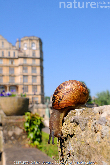 Common snail (Helix aspersa) crawling on stone flowerpot, with city buildings in the background, Bath, England, UK, April  ,  2020VISION,CITIES,ENGLAND,EUROPE,GARDENS,GASTROPODS,INVERTEBRATES,MOLLUSCS,PESTS,SNAILS,TOWNS,UK,URBAN,VERTICAL,United Kingdom  ,  Nick Upton / 2020VISION