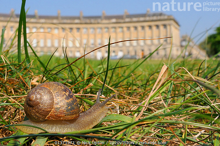 Common snail (Helix aspersa) crawling in lawn grass in front of the Royal Crescent, Bath, England, UK, April  ,  2020VISION,BUILDINGS,CITIES,ENGLAND,EUROPE,GARDENS,GASTROPODS,GEORGIAN,INVERTEBRATES,LOW ANGLE SHOT,MOLLUSCS,PESTS,SNAILS,TOWNS,UK,URBAN,United Kingdom  ,  Nick Upton / 2020VISION