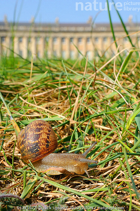 Common snail (Helix aspersa) crawling in lawn grass in front of the Royal Crescent, Bath, England, UK, April  ,  2020VISION,BUILDINGS,CITIES,ENGLAND,EUROPE,GARDENS,GASTROPODS,GEORGIAN,INVERTEBRATES,MOLLUSCS,PESTS,SNAILS,TOWNS,UK,URBAN,VERTICAL,United Kingdom  ,  Nick Upton / 2020VISION