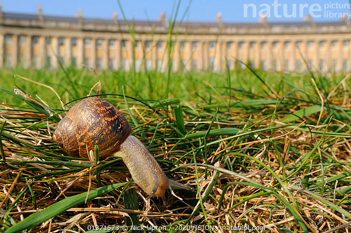 Common snail (Helix aspersa) crawling in lawn grass in front of the Royal Crescent, Bath, England, UK, April  ,  2020VISION,BUILDINGS,CITIES,ENGLAND,EUROPE,GARDENS,GASTROPODS,GEORGIAN,INVERTEBRATES,MOLLUSCS,PESTS,SNAILS,TOWNS,UK,URBAN,United Kingdom,2020cc  ,  Nick Upton / 2020VISION
