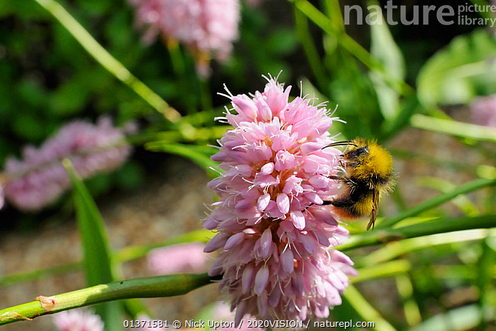 "Early bumblebee (Bombus pratorum) feeding on Knotweed (Persicaria bistorta ""superba"") flower in garden, Wiltshire, England, UK, May . Property released.  ,  2020VISION,ARTHROPODS,BEES,BUMBLEBEES,CITIES,COLOURFUL,ENGLAND,EUROPE,FLOWERS,GARDENS,HYMENOPTERA,INSECTS,INVERTEBRATES,PINK,PLANTS,POLLINATION,POLYGONACEAE,UK,URBAN,United Kingdom,,Dispersal,  ,  Nick Upton / 2020VISION"
