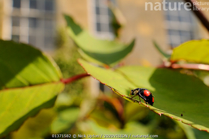 Harlequin / Multicoloured asian lady beetle (Harmonia axyridis - spectabilis form) on Rose bush (Rosa sp.) in garden, Wiltshire, England, UK, May . Property released.  ,  2020VISION,ALIEN,ALIEN SPECIES,BEETLES,CITIES,COLEOPTERA,ENGLAND,EUROPE,GARDENS,INSECTS,INVASIVE,INVERTEBRATES,LADYBIRDS,LEAVES,PLANTS,ROSACEAE,SPOTTED,UK,URBAN,United Kingdom  ,  Nick Upton / 2020VISION