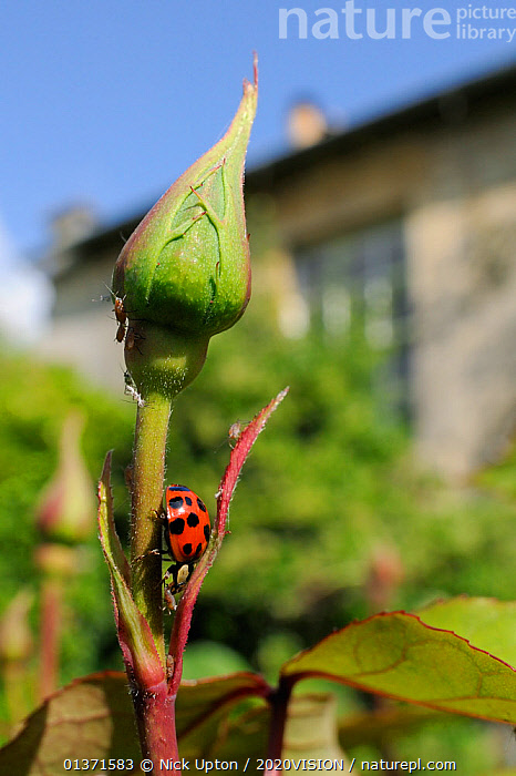 Harlequin / Multicoloured asian lady beetle (Harmonia axyridis succinea) predating Rose aphid (Macrosiphum rosae) on Rose bush (Rosa sp.) in garden, Wiltshire, England, UK, May . Property released.  ,  ALIEN SPECIES,EUROPE,INSECTS,INVASIVE,LADYBIRDS,PESTS,VERTICAL,2020VISION,ALIEN,BEETLES,CITIES,COLEOPTERA,ENGLAND,FEEDING,GARDENS,INVERTEBRATES,PREDATION,ROSACEAE,UK,URBAN,Behaviour,United Kingdom  ,  Nick Upton / 2020VISION