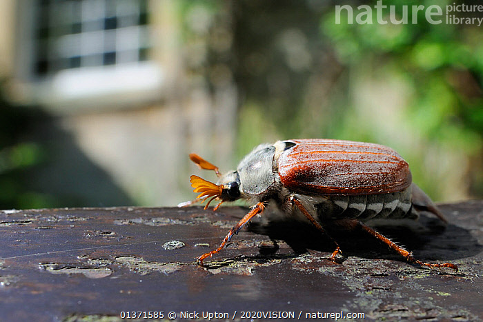 Common cockchafer / Maybug (Melolontha melolontha), crawling on garden bench with house in background, Wiltshire, England, UK, May . Property released.  ,  2020VISION,BEETLES,CHAFERS,CITIES,COLEOPTERA,ENGLAND,EUROPE,GARDENS,INSECTS,INVERTEBRATES,MAYBUG,PORTRAITS,PROFILE,STRIPED,UK,URBAN,United Kingdom  ,  Nick Upton / 2020VISION