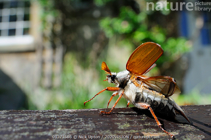 Common cockchafer / Maybug (Melolontha melolontha), opening its wings to take off from garden bench with house in background, Wiltshire, England, UK, May . Property released.  ,  2020VISION,BEETLES,CHAFERS,CITIES,COLEOPTERA,ENGLAND,EUROPE,GARDENS,INSECTS,INVERTEBRATES,MAYBUG,PROFILE,TAKE OFF,UK,URBAN,WINGS,United Kingdom,2020cc  ,  Nick Upton / 2020VISION