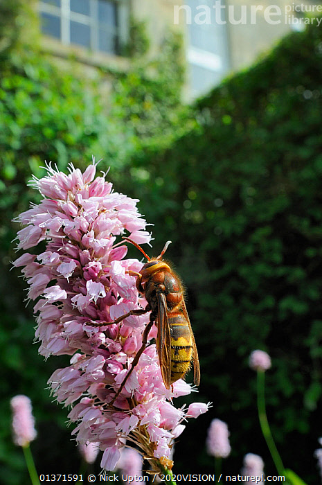 """Queen Hornet (Vespa crabro) feeding on Knotweed flower (Persicaria bistorta """"superba"""") in garden, Wiltshire, England, UK, May . Property released.  ,  2020VISION,CITIES,COLOURFUL,ENGLAND,EUROPE,FLOWERS,GARDENS,HYMENOPTERA,INSECTS,INVERTEBRATES,PINK,PLANTS,POLLINATION,POLYGONACEAE,UK,URBAN,VERTICAL,WASPS,United Kingdom,2020cc,,Dispersal,  ,  Nick Upton / 2020VISION"""