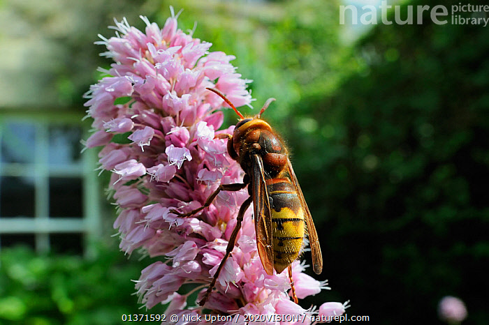"Queen Hornet (Vespa crabro) feeding on Knotweed flower (Persicaria bistorta ""superba"") in garden, Wiltshire, England, UK, May . Property released.  ,  2020VISION,CITIES,COLOURFUL,ENGLAND,EUROPE,FLOWERS,GARDENS,HYMENOPTERA,INSECTS,INVERTEBRATES,PINK,PLANTS,POLLINATION,POLYGONACEAE,UK,URBAN,WASPS,United Kingdom  ,  Nick Upton / 2020VISION"