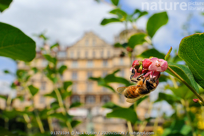 Honey bee (Apis mellifera) foraging on Snowberry flowers (Symphoricarpos sp.) in Parade gardens park, with city buildings in the background, Bath, England, UK, June  ,  2020VISION,APIDAE,ARTHROPODS,BEES,CITIES,ENGLAND,EUROPE,FEEDING,FLOWERS,GARDENS,HYMENOPTERA,INSECTS,INVERTEBRATES,PINK,PLANTS,POLLINATION,UK,URBAN,United Kingdom ,honeybee,honeybees,,Dispersal,  ,  Nick Upton / 2020VISION