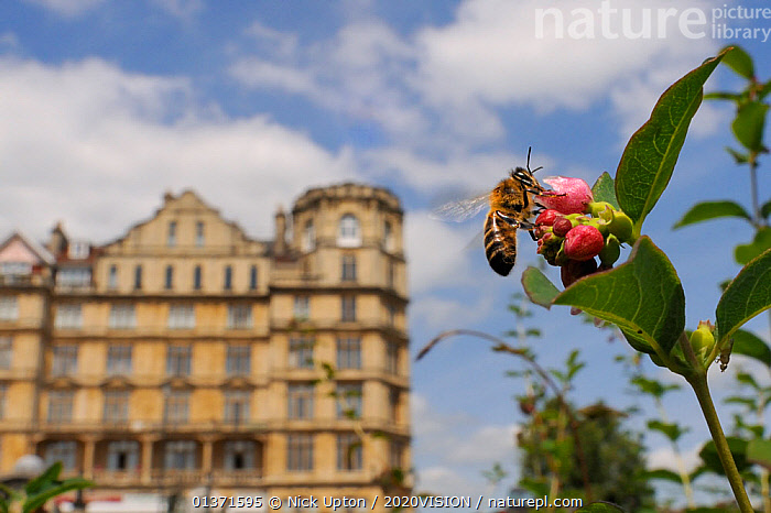 Honey bee (Apis mellifera) foraging on Snowberry flowers (Symphoricarpos sp.) in Parade gardens park, with city buildings in the background, Bath, England, UK, June  ,  2020VISION,APIDAE,ARTHROPODS,BEES,BUILDINGS,CITIES,ENGLAND,EUROPE,FEEDING,FLOWERS,GARDENS,HYMENOPTERA,INSECTS,INVERTEBRATES,POLLINATION,TAKE OFF,TOWNS,UK,URBAN,United Kingdom ,honeybee,honeybees,,Dispersal,  ,  Nick Upton / 2020VISION