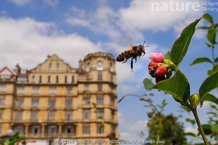 Honey bee (Apis mellifera) hovering near Snowberry flowers (Symphoricarpos sp.) in Parade gardens park, with city buildings in the background, Bath, England, UK, June, 2020VISION,APIDAE,ARTHROPODS,BEES,BUILDINGS,CITIES,ENGLAND,EUROPE,FLOWERS,FLYING,GARDENS,HYMENOPTERA,INSECTS,INVERTEBRATES,PINK,PLANTS,POLLINATION,TOWNS,UK,URBAN,United Kingdom ,honeybee,honeybees,2020cc, Nick Upton / 2020VISION