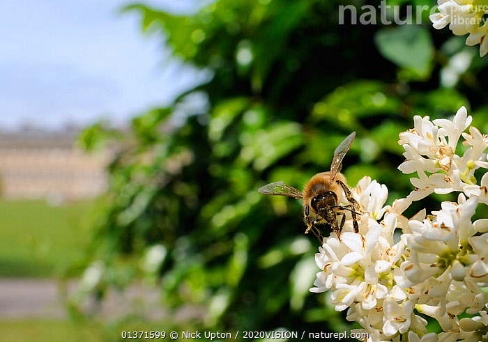 Honey bee (Apis mellifera) foraging on Common privet flowers (Ligustrum vulgare), Royal Crescent, Bath, England, UK, June  ,  2020VISION,APIDAE,ARTHROPODS,BEES,BUILDINGS,CITIES,ENGLAND,EUROPE,FEEDING,GARDENS,HYMENOPTERA,INSECTS,INVERTEBRATES,PLANTS,POLLINATION,TOWNS,UK,URBAN,WHITE,United Kingdom ,honeybee,honeybees,,Dispersal,  ,  Nick Upton / 2020VISION