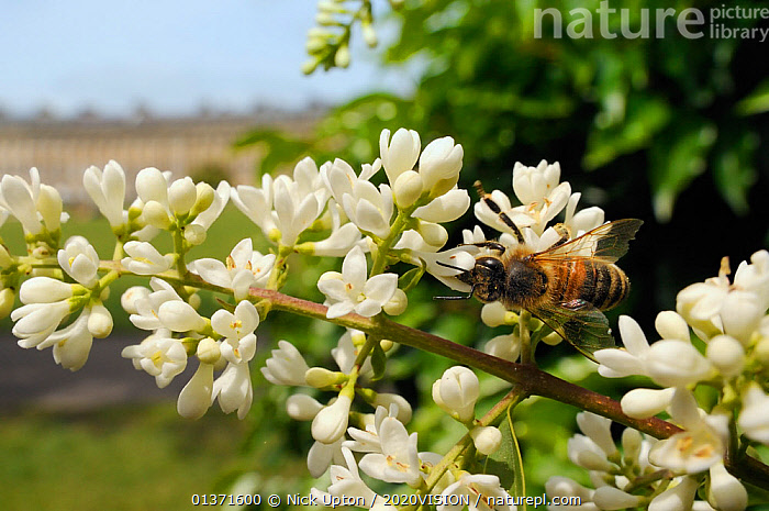 Honey bee (Apis mellifera) foraging on Common privet flowers (Ligustrum vulgare), Royal Crescent, Bath, England, UK, June  ,  2020VISION,APIDAE,ARTHROPODS,BEES,CITIES,ENGLAND,EUROPE,FEEDING,FLOWERS,GARDENS,HYMENOPTERA,INSECTS,INVERTEBRATES,PLANTS,POLLINATION,TOWNS,UK,URBAN,WHITE,United Kingdom ,honeybee,honeybees,,Dispersal,  ,  Nick Upton / 2020VISION