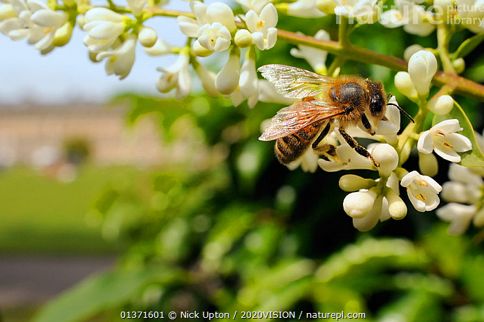 Honey bee (Apis mellifera) foraging on Common privet flowers (Ligustrum vulgare), Royal Crescent, Bath, England, UK, June  ,  2020VISION,APIDAE,ARTHROPODS,BEES,BUILDINGS,CITIES,ENGLAND,EUROPE,FEEDING,FLOWERS,GARDENS,HYMENOPTERA,INSECTS,INVERTEBRATES,PLANTS,POLLINATION,UK,URBAN,WHITE,United Kingdom ,honeybee,honeybees  ,  Nick Upton / 2020VISION