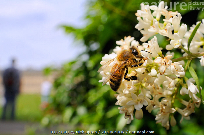 Honey bee (Apis mellifera) foraging on Common privet flowers (Ligustrum vulgare), with person in the background, Royal Crescent, Bath, England, UK, June  ,  2020VISION,APIDAE,ARTHROPODS,BEES,BUILDINGS,CITIES,ENGLAND,EUROPE,FEEDING,FLOWERS,GARDENS,HYMENOPTERA,INSECTS,INVERTEBRATES,OUTDOORS,PEOPLE,POLLINATION,PORTRAITS,TOWNS,UK,URBAN,WHITE,United Kingdom ,honeybee,honeybees,,Dispersal,  ,  Nick Upton / 2020VISION