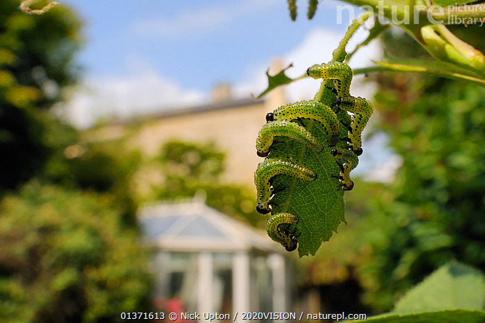 Group of Large rose sawfly larvae (Arge pagana) feeding on young Rose leaves (Rosa sp.) in garden, Wiltshire, England, UK, August . Property released.  ,  2020VISION,ARTHROPODS,CATERPILLARS,CITIES,ENGLAND,EUROPE,FEEDING,GARDENS,GREEN,HYMENOPTERA,INSECTS,INVERTEBRATES,PESTS,PLANTS,SAWFLIES,UK,URBAN,United Kingdom  ,  Nick Upton / 2020VISION