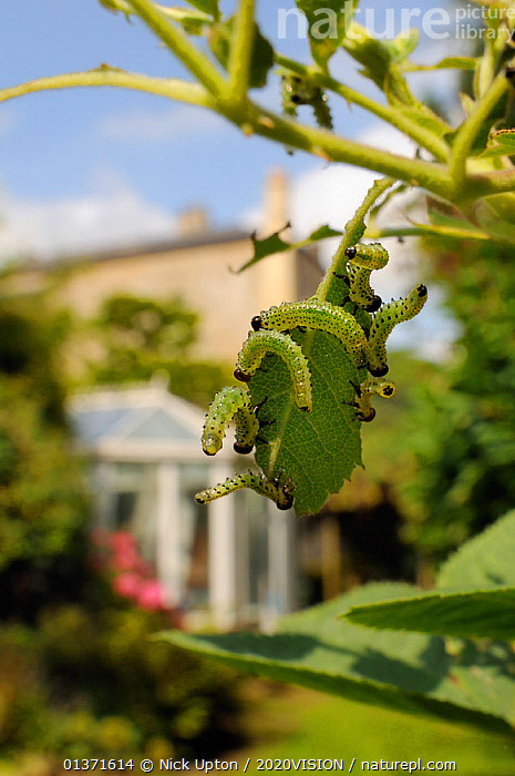 Group of Large rose sawfly larvae (Arge pagana) feeding on young Rose leaves (Rosa sp.) in garden, Wiltshire, England, UK, August . Property released.  ,  2020VISION,ARTHROPODS,CATERPILLARS,CITIES,ENGLAND,EUROPE,FEEDING,GARDENS,GREEN,GROUPS,HYMENOPTERA,INSECTS,INVERTEBRATES,PESTS,PLANTS,SAWFLIES,UK,URBAN,VERTICAL,United Kingdom,2020cc  ,  Nick Upton / 2020VISION