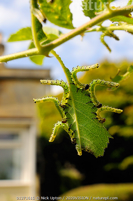 Group of Large rose sawfly larvae (Arge pagana) feeding on young Rose leaves (Rosa sp.) in garden, Wiltshire, England, UK, August . Property released.  ,  2020VISION,ARTHROPODS,CATERPILLARS,CITIES,ENGLAND,EUROPE,FEEDING,GARDENS,GREEN,HYMENOPTERA,INSECTS,INVERTEBRATES,LEAVES,PESTS,SAWFLIES,UK,URBAN,VERTICAL,United Kingdom  ,  Nick Upton / 2020VISION