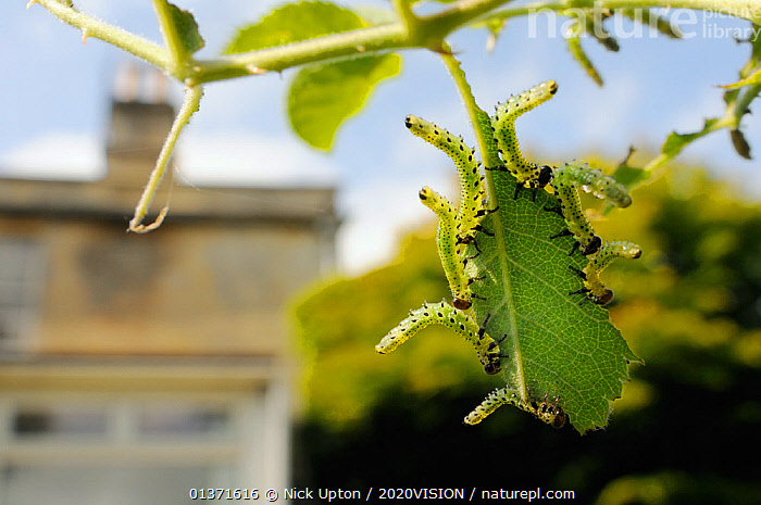 Group of Large rose sawfly larvae (Arge pagana) feeding on young Rose leaves (Rosa sp.) in garden, Wiltshire, England, UK, August . Property released.  ,  2020VISION,ARTHROPODS,CATERPILLARS,CITIES,ENGLAND,EUROPE,FEEDING,GARDENS,GREEN,HYMENOPTERA,INSECTS,INVERTEBRATES,LEAVES,PESTS,PLANTS,SAWFLIES,UK,URBAN,United Kingdom  ,  Nick Upton / 2020VISION