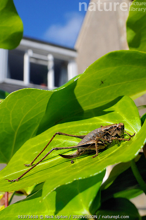 Female Dark bush cricket (Pholidoptera griseoaptera) sunning itself on Ivy leaf (Hedera helix) in garden, with house in background, Wiltshire England, UK, September . Property released.  ,  2020VISION,BUSH CRICKETS,CITIES,ENGLAND,EUROPE,GARDENS,GRASSHOPPERS,INSECTS,INVERTEBRATES,KATYDIDS,LEAVES,LONG HORNED GRASSHOPPERS,ORTHOPTERA,PORTRAITS,THERMOREGULATION,UK,URBAN,VERTICAL,United Kingdom  ,  Nick Upton / 2020VISION