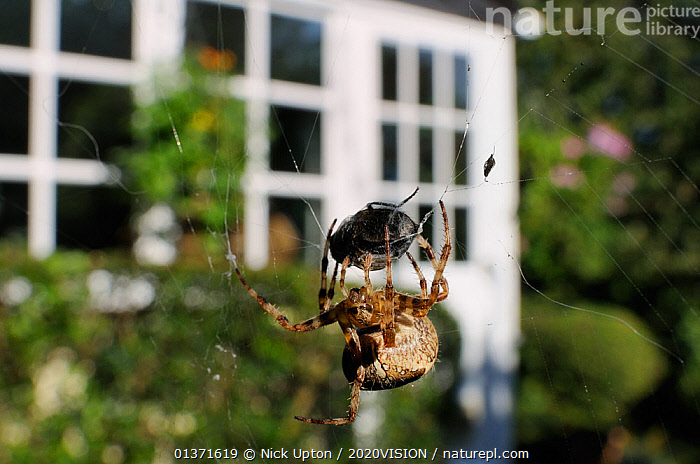 Female Garden spider (Araneus diadematus) wrapping up fly prey with silk on web spun in garden, with house in the background, Wiltshire England, UK, September . Property released.  ,  2020VISION,ARACHNIDS,ARTHROPODS,BEHAVIOUR,CITIES,ENGLAND,EUROPE,GARDENS,INVERTEBRATES,ORB WEAVER SPIDERS,PREDATION,SPIDERS,UK,URBAN,United Kingdom,2020cc  ,  Nick Upton / 2020VISION