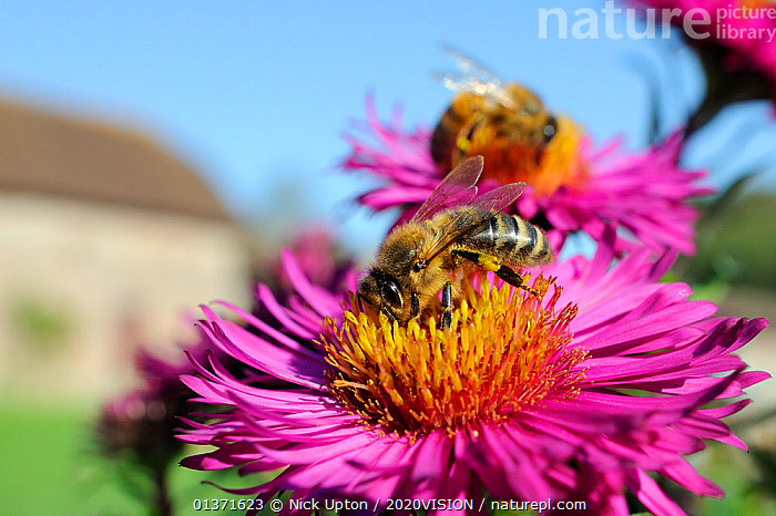 Honey bees (Apis mellifera) foraging on Pink asters (Aster novae-angliae) in garden, Wiltshire, England, UK, September . Property released.  ,  2020VISION,APIDAE,ARTHROPODS,ASTERACEAE,BEES,CITIES,COLOURFUL,ENGLAND,EUROPE,FEEDING,FLOWERS,GARDENS,HYMENOPTERA,INSECTS,INVERTEBRATES,PINK,POLLINATION,UK,URBAN,YELLOW,United Kingdom ,honeybee,honeybees  ,  Nick Upton / 2020VISION