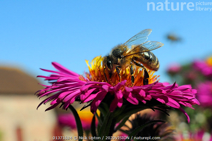 Honey bee (Apis mellifera) foraging on Pink asters (Aster novae-angliae) in garden, Wiltshire, England, UK, September . Property released.  ,  2020VISION,APIDAE,ARTHROPODS,ASTERACEAE,BEES,CITIES,COLOURFUL,ENGLAND,EUROPE,FEEDING,FLOWERS,GARDENS,HYMENOPTERA,INSECTS,INVERTEBRATES,PINK,POLLINATION,UK,URBAN,United Kingdom ,honeybee,honeybees,,Dispersal,  ,  Nick Upton / 2020VISION