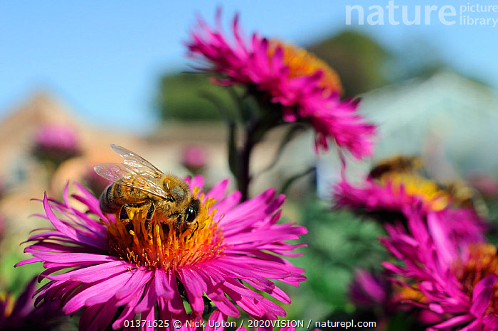 Honey bee (Apis mellifera) foraging on Pink asters (Aster novae-angliae) in garden, Wiltshire, England, UK, September. Did you know? A honey bee will travel six miles or more on a single foraging flight, and may visit over 100 plants. . Property released. . Property released.  ,  2020VISION,APIDAE,ARTHROPODS,ASTERACEAE,BEES,CITIES,COLOURFUL,ENGLAND,EUROPE,FEEDING,FLOWERS,GARDENS,HYMENOPTERA,INSECTS,INVERTEBRATES,PINK,PLANTS,POLLINATION,UK,URBAN,United Kingdom,PICDAY ,honeybee,honeybees,2020cc  ,  Nick Upton / 2020VISION