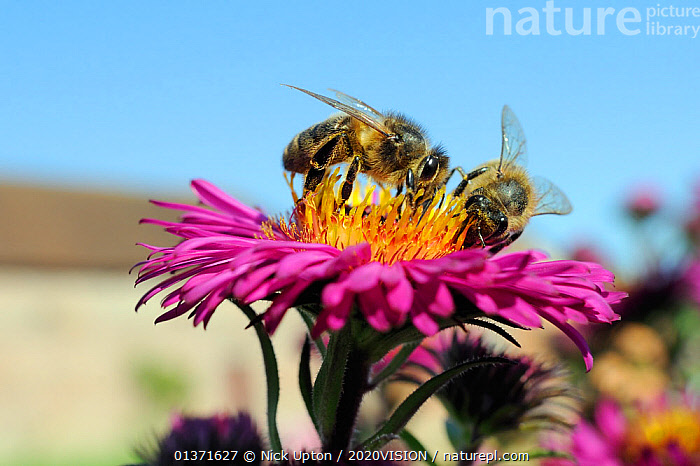 Honey bee (Apis mellifera) foraging on Pink aster (Aster novae-angliae) in Wiltshire garden, UK, September . Property released.  ,  2020VISION,APIDAE,ARTHROPODS,ASTERACEAE,BEES,CITIES,COLOURFUL,ENGLAND,EUROPE,FEEDING,FLOWERS,GARDENS,HYMENOPTERA,INSECTS,INVERTEBRATES,PINK,PLANTS,POLLINATION,TWO,UK,URBAN,United Kingdom ,honeybee,honeybees,,Dispersal,  ,  Nick Upton / 2020VISION