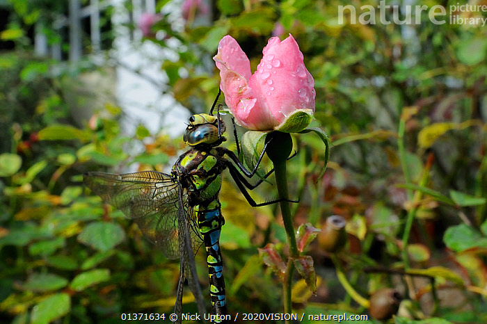 Male Southern hawker dragonfly (Aeshna cyanea) sunning itself on Rose flower (Rosa sp.) in garden in autumn, Wiltshire, England, UK, October . Property released.  ,  2020VISION,ARTHROPODS,CITIES,DEW,DRAGONFLIES,ENGLAND,EUROPE,FLOWERS,GARDENS,INSECTS,INVERTEBRATES,ODONATA,PINK,ROSACEAE,THERMOREGULATION,UK,URBAN,United Kingdom  ,  Nick Upton / 2020VISION