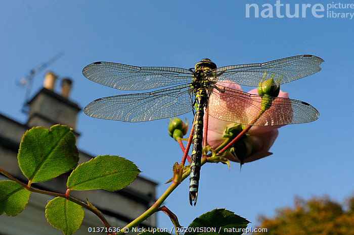 Male Southern hawker dragonfly (Aeshna cyanea) sunning itself on Rose flower (Rosa sp.) in garden in autumn, Wiltshire, England, UK, October . Property released. Did you know? The Latin name for this genera 'Aeshna' means ugly or misshapen.  ,  2020VISION,ARTHROPODS,CITIES,DRAGONFLIES,ENGLAND,EUROPE,FLOWERS,GARDENS,INSECTS,INVERTEBRATES,LOW ANGLE SHOTS,ODONATA,PINK,ROSACEAE,picday,THERMOREGULATION,UK,URBAN,United Kingdom,2020cc  ,  Nick Upton / 2020VISION