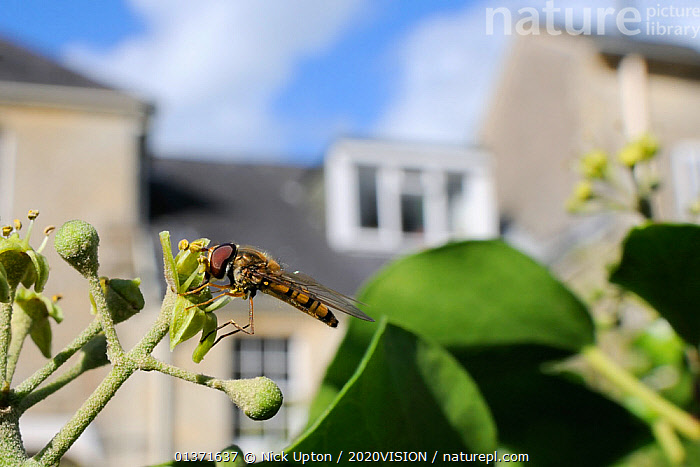 Marmalade hoverfly (Episyrphus balteatus) feeding on Ivy flower (Hedera helix) in garden, with house in background, Wiltshire, England, UK, October . Property released.  ,  2020VISION,CITIES,DIPTERA,ENGLAND,EUROPE,FEEDING,FLIES,GARDENS,HOVER FLIES,INSECTS,INVERTEBRATES,MIMICRY,POLLINATION,UK,URBAN,United Kingdom,,Dispersal,  ,  Nick Upton / 2020VISION
