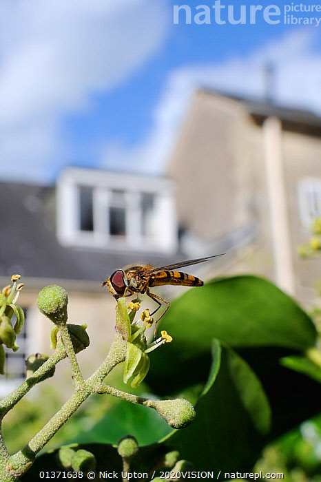 Marmalade hoverfly (Episyrphus balteatus) feeding on Ivy flower (Hedera helix) in garden, with house in background, Wiltshire, England, UK, October . Property released.  ,  2020VISION,CITIES,DIPTERA,ENGLAND,EUROPE,FEEDING,FLIES,FLOWERS,GARDENS,HOVER FLIES,INSECTS,INVERTEBRATES,POLLINATION,UK,URBAN,VERTICAL,United Kingdom,,Dispersal,  ,  Nick Upton / 2020VISION