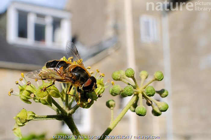 Hoverfly (Eristalis tenax), a honey bee mimic, feeding on Ivy flower (Hedera helix) in garden near a house, Wiltshire, England, UK, October . Property released.  ,  2020VISION,CITIES,DIPTERA,ENGLAND,EUROPE,FEEDING,FLIES,GARDENS,HOVER FLIES,INSECTS,INVERTEBRATES,MIMICRY,POLLINATION,UK,URBAN,United Kingdom,,Dispersal,  ,  Nick Upton / 2020VISION