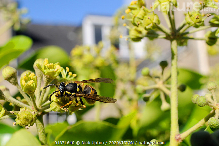 Common wasp (Vespula vulgaris) worker feeding on Ivy flower (Hedera helix) in garden, with house in background, Wiltshire, England, UK, October . Property released.  ,  2020VISION,CITIES,ENGLAND,EUROPE,FEEDING,FLOWERS,GARDENS,HYMENOPTERA,INSECTS,INVERTEBRATES,PLANTS,POLLINATION,UK,URBAN,WASPS,United Kingdom  ,  Nick Upton / 2020VISION