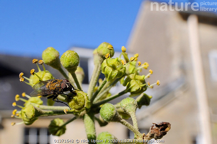 Cluster fly (Pollenia sp.) feeding on Ivy flower (Hedera helix) in garden, with house in background, Wiltshire, England, UK, October . Property released.  ,  2020VISION,CITIES,DIPTERA,ENGLAND,EUROPE,FEEDING,FLIES,FLOWERS,GARDENS,INSECTS,INVERTEBRATES,PLANTS,POLLINATION,UK,URBAN,United Kingdom,,Dispersal,  ,  Nick Upton / 2020VISION