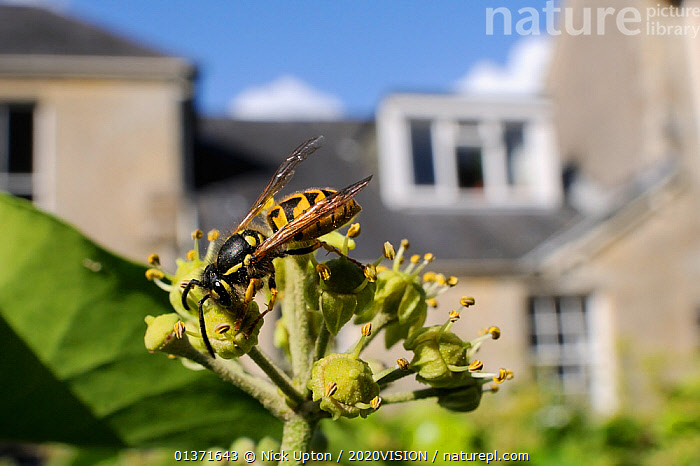 Common wasp (Vespula vulgaris) worker feeding on Ivy flower (Hedera helix) in garden, with house in background, Wiltshire, England, UK, October . Property released.  ,  2020VISION,CITIES,ENGLAND,EUROPE,FEEDING,FLOWERS,GARDENS,HYMENOPTERA,INSECTS,INVERTEBRATES,PLANTS,POLLINATION,UK,URBAN,WASPS,United Kingdom,,Dispersal,  ,  Nick Upton / 2020VISION