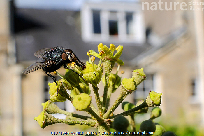 Bluebottle fly (Calliphora vicina), feeding on Ivy flower (Hedera helix) in garden, with house in background, Wiltshire, England,  UK, October . Property released.  ,  2020VISION,CITIES,DIPTERA,ENGLAND,EUROPE,FEEDING,FLIES,FLOWERS,GARDENS,INSECTS,INVERTEBRATES,PLANTS,POLLINATION,UK,URBAN,United Kingdom,,Dispersal,  ,  Nick Upton / 2020VISION