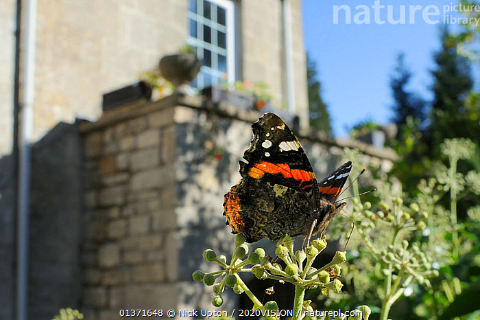 Red Admiral butterfly (Vanessa atalanta) feeding on Ivy flowers (Hedera helix) in garden, with house in background, Wiltshire, England, UK, April . Property released.  ,  2020VISION,ARTHROPODS,BUTTERFLIES,CITIES,COLOURFUL,ENGLAND,EUROPE,FEEDING,GARDENS,INSECTS,INVERTEBRATES,LEPIDOPTERA,PLANTS,POLLINATION,UK,URBAN,United Kingdom,,Dispersal,  ,  Nick Upton / 2020VISION