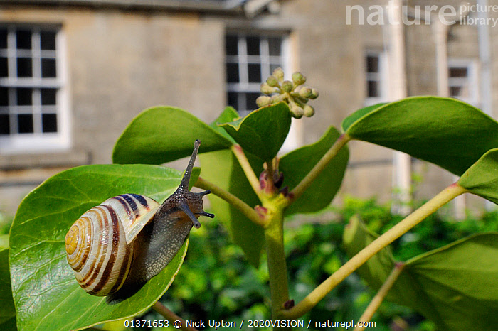 White-lipped snail (Cepaea hortensis) crawling over Ivy leaf (Hedera helix) in garden, with house in background, Wiltshire, England, UK, October . Property released. Did you know? Snails sometimes move in convoys, using the other snails' slime trails to use less energy.  ,  2020VISION,CITIES,ENGLAND,EUROPE,GARDENS,GASTROPODS,INVERTEBRATES,LEAVES,MOLLUSCS,PESTS,PLANTS,SNAILS,STRIPED,picday,STRIPES,UK,URBAN,United Kingdom  ,  Nick Upton / 2020VISION