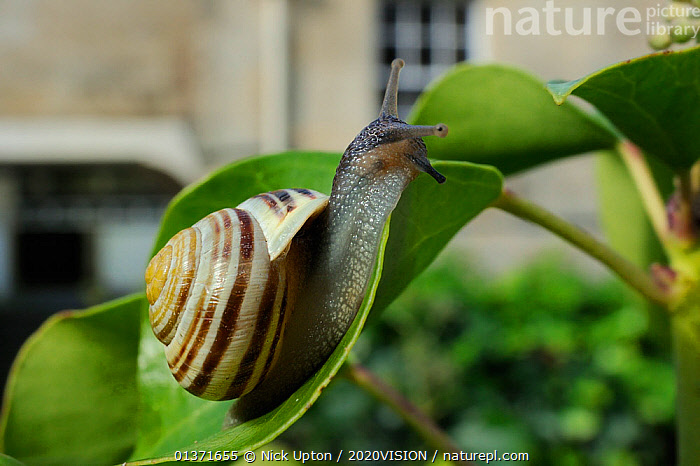 White-lipped snail (Cepaea hortensis) crawling over Ivy leaf (Hedera helix) in garden, with house in background, Wiltshire, England, UK, October . Property released.  ,  2020VISION,CITIES,ENGLAND,EUROPE,GARDENS,GASTROPODS,INVERTEBRATES,LEAVES,MOLLUSCS,PESTS,PLANTS,SNAILS,STRIPED,STRIPES,UK,URBAN,United Kingdom  ,  Nick Upton / 2020VISION