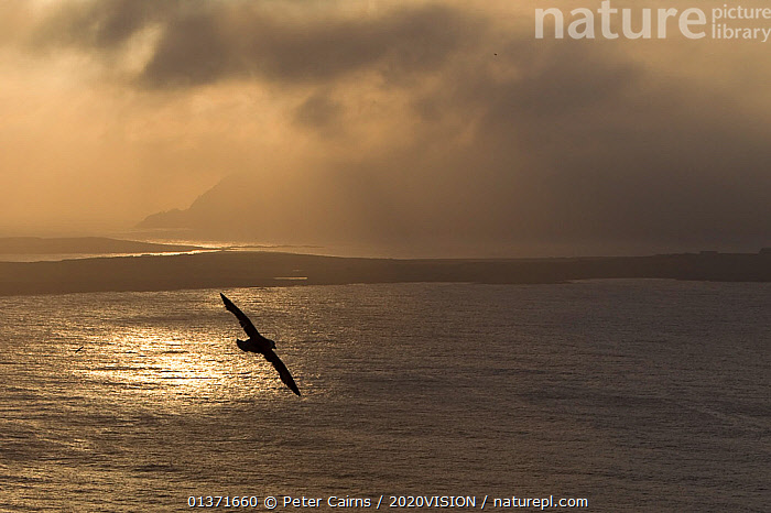 Fulmar (Fulmarus glacialis) silhouetted against backdrop of sea and clouds, Shetland Isles, Scotland, UK, July  ,  ATMOSPHERIC,BIRDS,COASTAL WATERS,ECO TOURISM,EUROPE,FLYING,SEABIRDS,2020VISION,ECOTOURISM,LANDSCAPES,PETRELS,PROCELLARIIDAE,SCOTLAND,SEAS,SILHOUETTES,UK,VERTEBRATES,WEATHER,United Kingdom  ,  Peter Cairns / 2020VISION