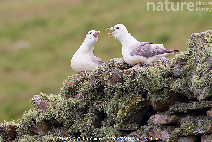 Fulmar (Fulmarus glacialis) pair calling to each other, Shetland Isles, Scotland, UK, July  ,  BIRDS,CLIFFS,COASTAL WATERS,ECO TOURISM,EUROPE,SEABIRDS,TWO,2020VISION,ECOTOURISM,MALE FEMALE PAIR,PETRELS,PROCELLARIIDAE,SCOTLAND,SEAS,UK,VERTEBRATES,VOCALISATION,Geology,United Kingdom  ,  Peter Cairns / 2020VISION
