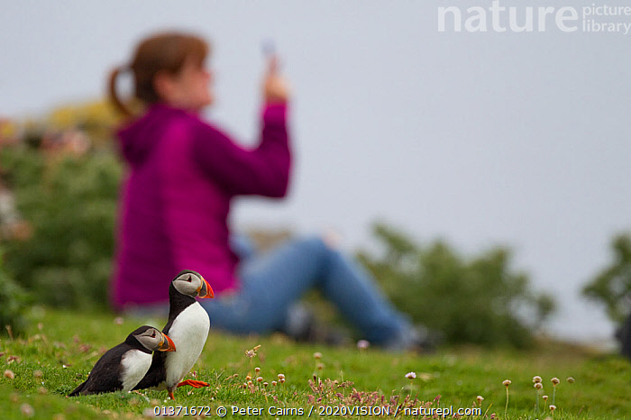Two puffins (Fratercula arctica) with tourist in the background holding a camera phone, Shetland Isles, Scotland, UK, July 2011  ,  2020VISION,BIRD WATCHING,ECOTOURISM,LEISURE,PEOPLE,PHOTOGRAPHER,SCOTLAND,SEAS,TOURISM,UK,VERTEBRATES,ATLANTIC PUFFIN,AUKS,BIRDS,BIRDWATCHING,COASTAL WATERS,ECO TOURISM,EUROPE,OUTDOORS,PHOTOGRAPHY,SEABIRDS,TWO,United Kingdom  ,  Peter Cairns / 2020VISION