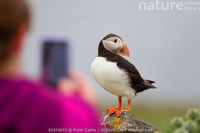 Puffin (Fratercula arctica) standing on a rock, posing for a tourist holding a camera, Shetland Isles, Scotland, UK, July 2011. 2020VISION Book Plate. Did you know? Although the largest colonies of puffins are on Iceland and Norway, the UK holds about 10% of the world population of the bird. Highly commended, 'Living Landscape: Connectivity' category, British Wildlife Photography Awards (BWPA) competition 2012.  ,  2020vision book plate,atlantic puffin,AUKS,BIRDS,birdwatching,BWPA book 2012,COASTAL WATERS,eco tourism,EUROPE,outdoors,PHOTOGRAPHY,SEABIRDS,WOMAN,2020VISION,bird watching,ecotourism,LEISURE,PEOPLE,photographer,picday,SCOTLAND,seas,TOURISM,UK,VERTEBRATES,United Kingdom  ,  Peter Cairns / 2020VISION