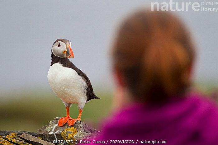 Tourist watching a Puffin (Fratercula arctica), Shetland Isles, Scotland, UK, July 2011. Did you know? When flying a Puffin can flap its wings 400 times a minute.  ,  2020VISION,BIRD WATCHING,ECOTOURISM,LEISURE,PEOPLE,SCOTLAND,SEAS,TOURISM,UK,VERTEBRATES,ATLANTIC PUFFIN,picday,AUKS,BIRDS,BIRDWATCHING,COASTAL WATERS,ECO TOURISM,EUROPE,ONE,OUTDOORS,SEABIRDS,WOMAN,United Kingdom,2020cc  ,  Peter Cairns / 2020VISION
