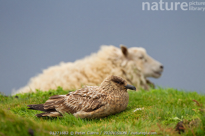 Great skua (Stercorarius skua)on ground with domestic sheep in the background, Shetland Isles, Scotland, UK, July  ,  2020VISION, BIRDS, COASTAL-WATERS, eco tourism, ecotourism, EUROPE, MIXED-SPECIES, MOORLAND, SCOTLAND, SEABIRDS, seas, SKUAS, Stercorarius skua, two, UK, VERTEBRATES,United Kingdom  ,  Peter Cairns / 2020VISION